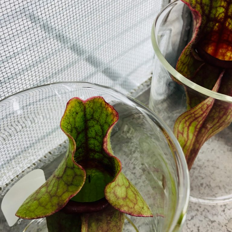 Pitcher plants in lab